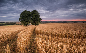 field, wheat, two trees