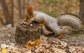 scoiattolo, Noccioline, autunno, fogliame, moncone