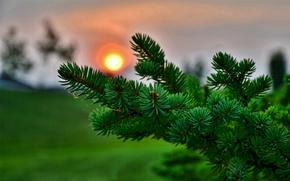 branch, needles, sun