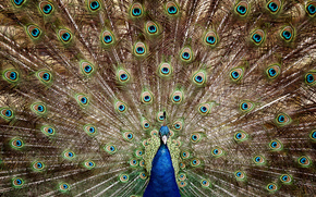 Peacock, tail, feathers
