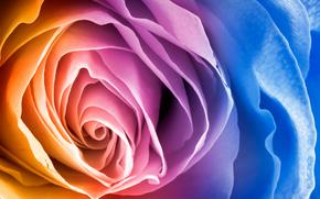 flor, rosa, Ptalos