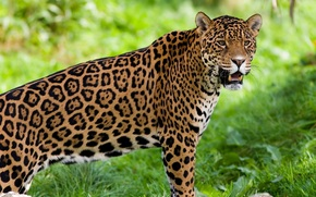 jaguar, bik, drapienik