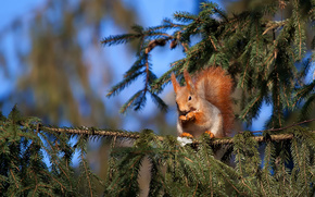 squirrel, spruce, needles