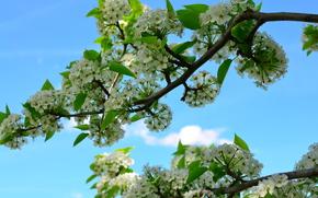 branch, Flowers, leaves