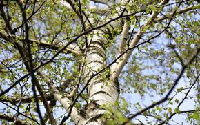 tree, branch, birch