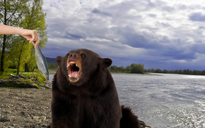 bear, fish, coast, river, Yenisei, hand, feeding