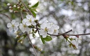Цветок, ветка, боке, весна