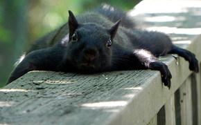 scoiattolo, Bugie, riposo