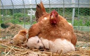 chicken, puppy, Friends