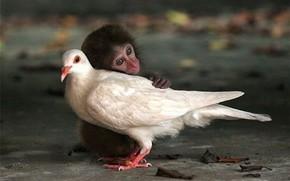 obezyanenok, pigeon, Friends