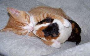 kitten, Cavy, Friends
