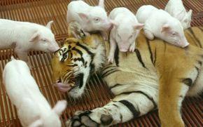 tiger, pigs, Friends