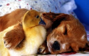 puppy, duckling, Friends