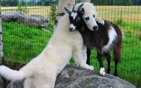dog, goat, Friends