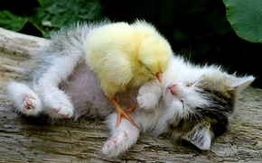 kitten, chicken, Friends