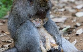 Monkey, kitten, Friends