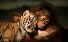 tiger cub, orangutan, Friends