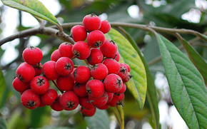 Berries, branch, storm, red