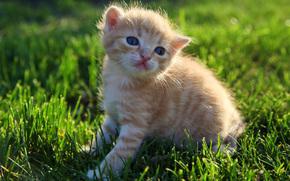 小猫, 草, 蓬松, 红色, 草坪