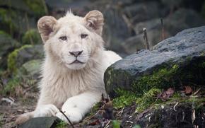 ライオン, 石, 捕食者