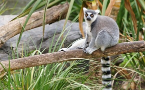 cat lemure, log, lemure