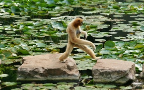 белощекий гиббон, обезьяна, камни, листья, водоём, переход, гиббон