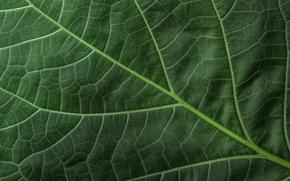 текстура, лист, зелень