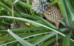 pineapple, plant, nature