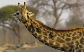 язык, Жираф, шея, птицы
