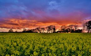 поле, рапс, закат, деревья