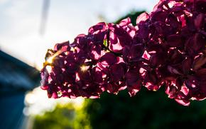 сирень, весна, лучи, розовый, светлый, природа, лето