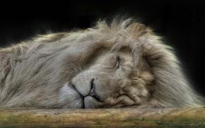 roi de btes, lion, rve