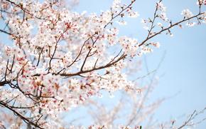 albero, fiorire, primavera
