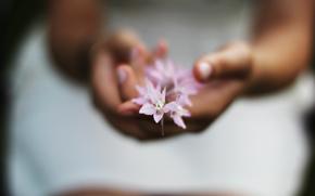 цветочек, цветы, розовый, девушка, руки, фон. обои, нежность, макро