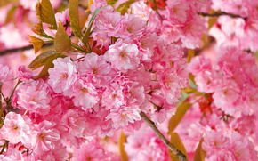 Flowers, spring, sakura, pink