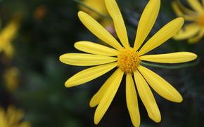 цветы, ромашка, цветочек, природа, обои, желтый, яркий, фон
