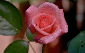 бутон, роза, капли