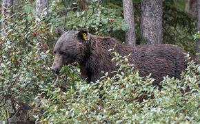 nature, bear