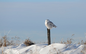 bird, snow, column, grass, Owl, Winter