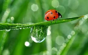 nature, ladybird, creeps, drops, dew, reflection