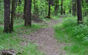 foresta, traccia, natura, paesaggio