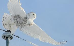 bird, snow, Wire, White, Owl, lap
