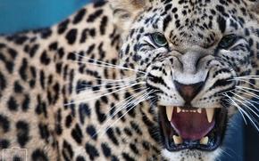 leopardo, sorriso, fauci, canini, predatore
