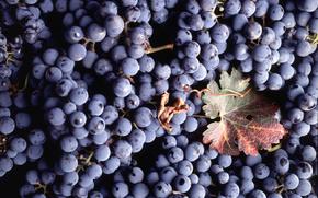 текстура, ягоды, лист, виноград