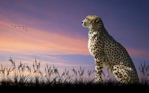 cheetah, sitting, looks