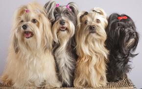 hairpins, quartet, Havana Bichon