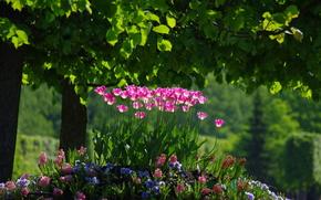 primavera, Tulipani, aiuola