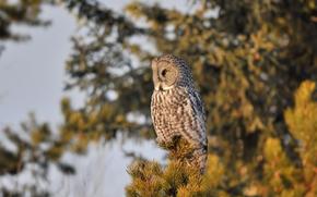 plumage, bird, tree, Owl, pine, top, needles