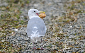 shell, pebble, stones, bird, seagull, stones