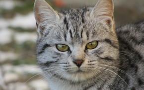 кот, кошка, портрет